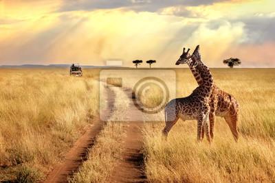 Poster Gruppe Giraffen im Serengeti Nationalpark auf einem Sonnenunterganghintergrund mit Strahlen des Sonnenlichts. Afrikanische Safari.