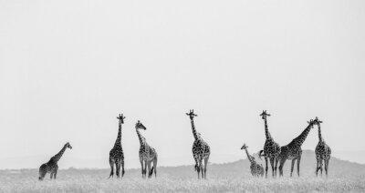 Poster Gruppe von Giraffen in der Savanne. Kenia. Tansania. Ostafrika. Eine ausgezeichnete Illustration.
