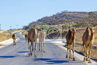 Gruppe von Kamelen in der Wüste von Oman