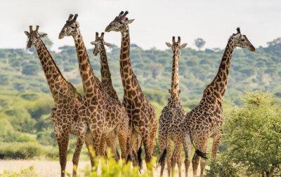 Poster Gruppe von sechs Giraffen im Tarangire-Nationalpark, Tansania