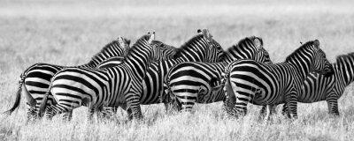 Poster Gruppe von Zebras in der Savanne. Kenia. Tansania. Nationalpark. Serengeti Maasai Mara. Eine ausgezeichnete Illustration.