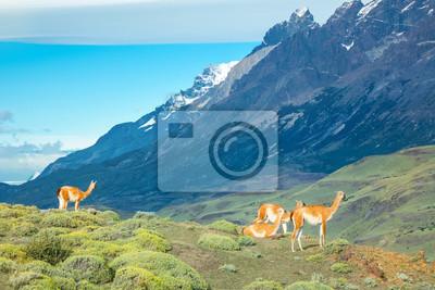 Guanaco-Lamas in Nationalpark Bergen Torres Del Paine, Patagonia, Chile, Südamerika