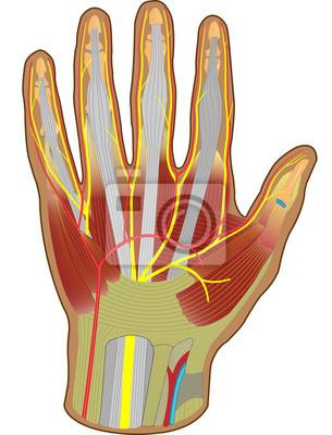 Hand anatomie - beugeseitig wandposter • poster sehnen ...