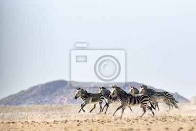 Hartmaans Berg Zebra im Namib Naukluft Nationalpark.