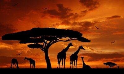 Poster herd of giraffes in the setting sun