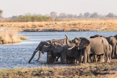 Herde der Elefanten, die im Fluss trinken