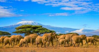 Poster Herde von afrikanischen Elefanten auf einer Safari Reise nach Kenia und einem schneebedeckten Kilimanjaro Berg in Tansania im Hintergrund, unter einem bewölkten blauen Himmel.