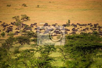 Herde von Büffel auf der afrikanischen Savanne