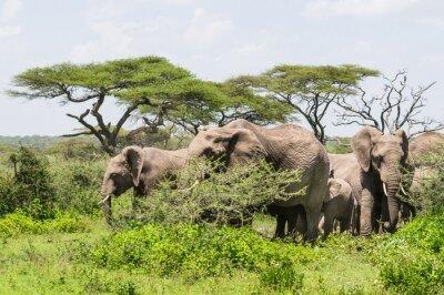 Poster Herde von Elefanten unter Acacia Bäume auf der Serengeti Savannah Landschaft