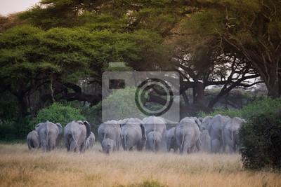 Herde von Elefanten unter Akazienbaum im Sonnenuntergang Licht