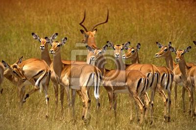 Herde von Impalas in Ambosel