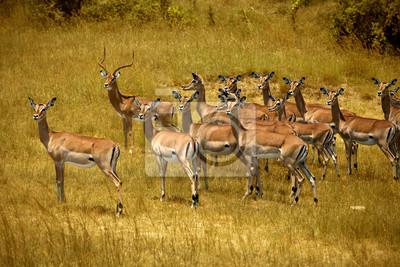 Herde von Impalas in Masai Mara