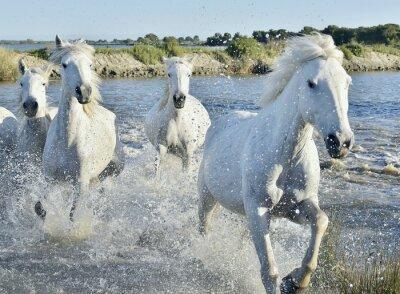 Poster Herde von Weiß Horses Running und Spritzwasser durch Wasser