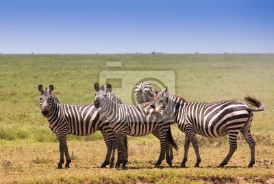 Herde von Zebras auf afrikanische Savanne