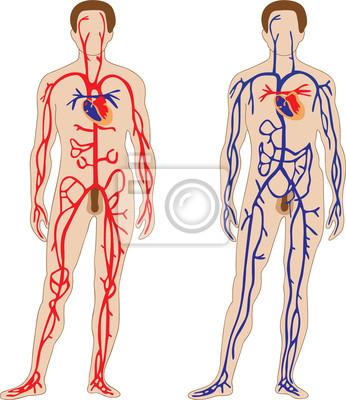 Herz-kreislauf-system wandposter • poster Physiologie, Orgel ...