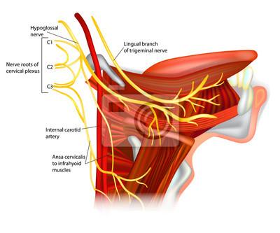 Hirnnerven - nervus hypoglossus. ansa hypoglossi und muskeln ...