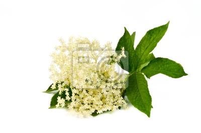 Holunderblüten auf weiß