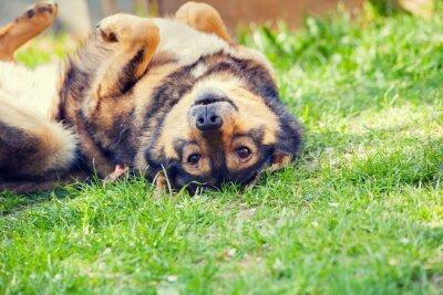 Poster Hund liegt auf dem Rücken auf dem Rasen