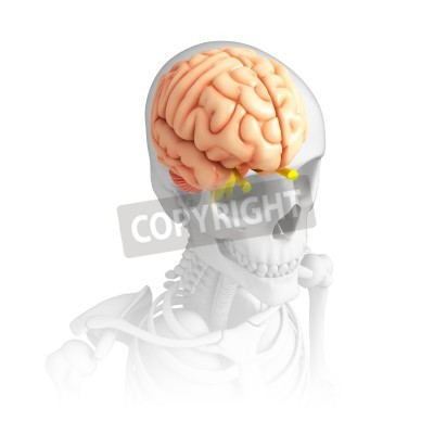 Illustration of human brain anatomy wandposter • poster Zirbeldrüse ...
