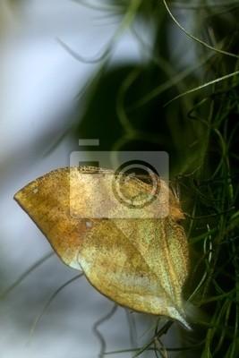 Indian Leafwing Schmetterling