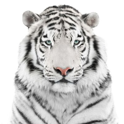 Poster Isoliert weiße Tiger