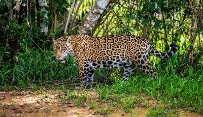 Jaguar among the jungle. Close-up. South America. Brazil. Pantanal National Park.