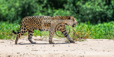 Jaguar is walking along the sand against the backdrop of beautiful nature. South America. Brazil. Pantanal National Park.