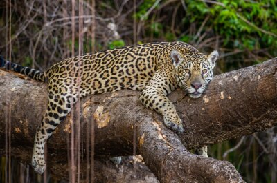 Jaguar lies on a picturesque tree in the middle of the jungle. South America. Brazil. Pantanal National Park.