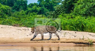 Jaguar walks along the sand along the river against the backdrop of beautiful nature. South America. Brazil. Pantanal National Park.
