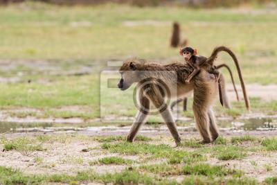 Junge Baby-Pavian auf Mütter zurück