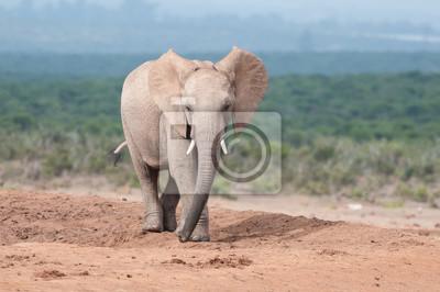 Junge Erwachsene Elefanten zu Fuß