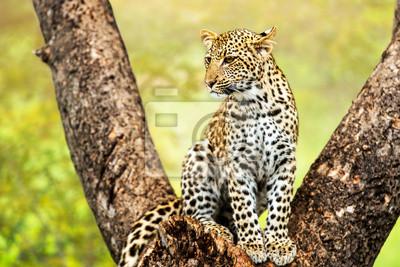 Junge männliche Leoparden im Baum.