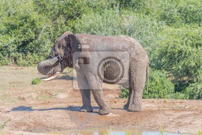Junger afrikanischer Elefant, der Schlamm von seinen Augen wischt