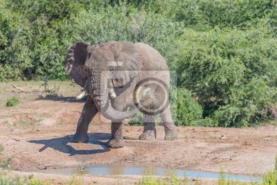 Junger afrikanischer Elefant, der Schlammbad nimmt