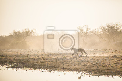 Junger männlicher Löwe im Etosha Nationalpark.