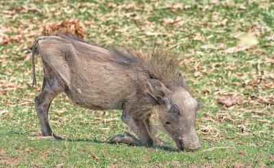 Junges Warzenschwein Weiden