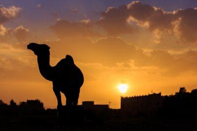 Kamel-Schattenbild - Marokko