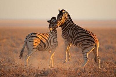Poster Kämpfen Steppenzebras, Etosha National Park