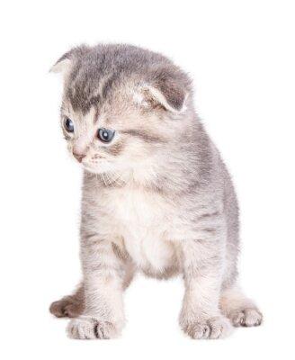 Poster Kätzchen isoliert auf weiß