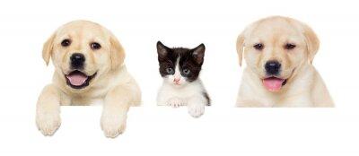 Poster Kätzchen und Welpen Labrador guckt