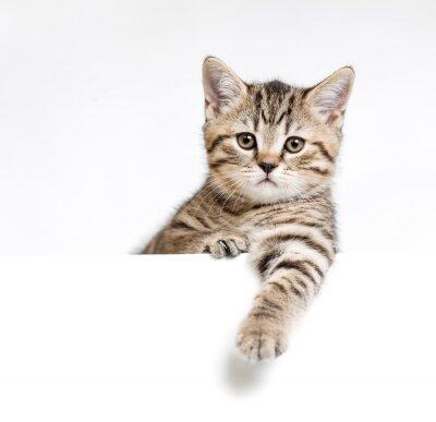 Poster Katze oder ein Kätzchen hinter weißen Schild isoliert