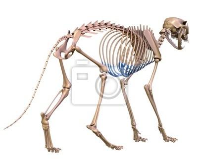 Katze skelett wandposter • poster Rippe, Knochen, Veterinär ...