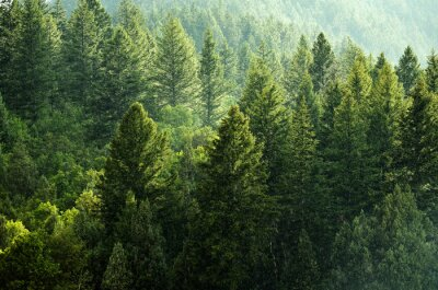 Poster Kiefernwald Während Regensturm Lush Bäume