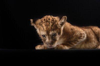 Poster Kleine Löwenjunge auf schwarzem Hintergrund