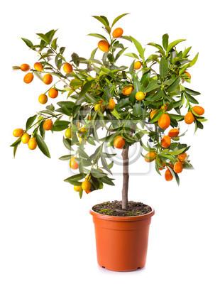 kleine Zitrusfrüchte Baum im Topf isoliert auf weiß