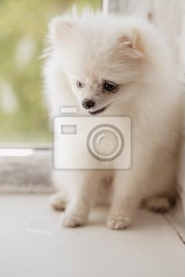 Poster Kleiner Weißer Spitz Hund