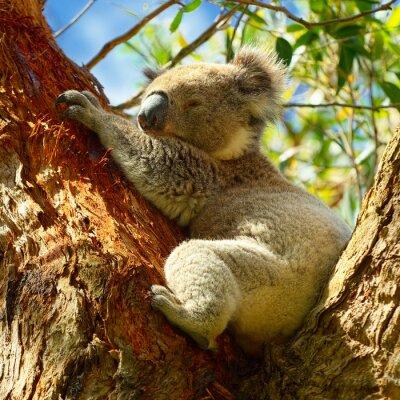 Poster Koalas entlang der Great Ocean Road, Victoria, Australien