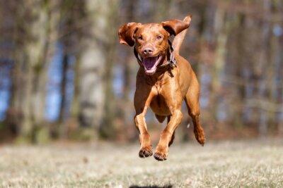 Poster Kooikerhondje Hund im Freien in der Natur