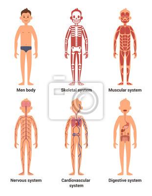 Körper anatomie der männer. nerven und muskelsysteme, herz und ...