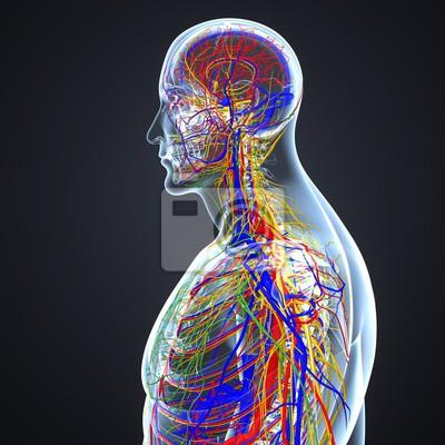 Kreislauf- und nervensystem mit lymphknoten wandposter • poster ...